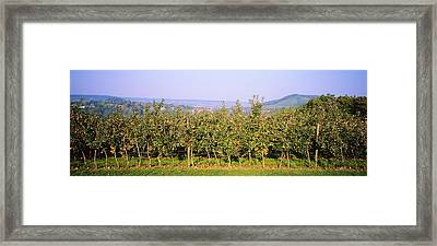 Apple Trees In An Orchard, Weinsberg Framed Print