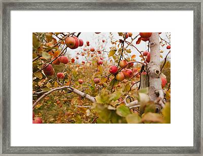 Apple Trees In Fall Framed Print by Samantha Leonetti