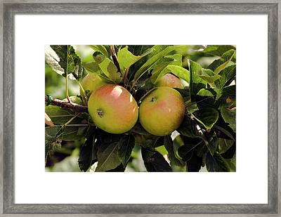 Apples (malus Domestica 'discovery') Framed Print by Adrian Thomas