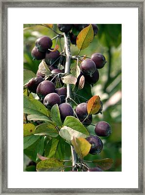 Apples (malus 'neville Copeman') Framed Print by Adrian Thomas