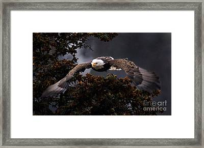 Approaching Eagle-signed- Framed Print