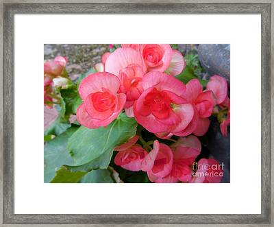 Apricot Colored Begonias - The Color Of Coral Framed Print