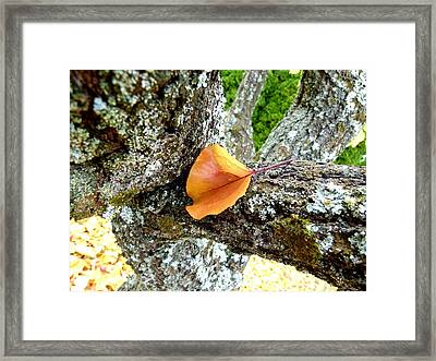 Apricot Leaf And Lichen Framed Print by Will Borden