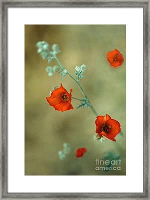 Apricot Mallow Framed Print