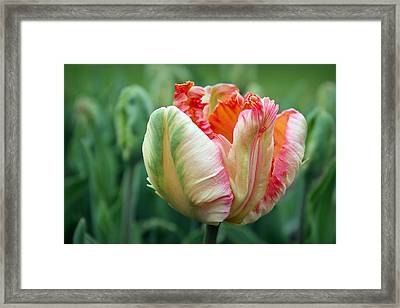 Apricot Parrot Tulip Framed Print