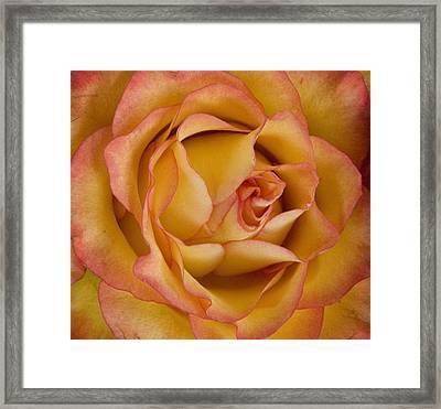 Apricot Rose Framed Print by Michael Friedman