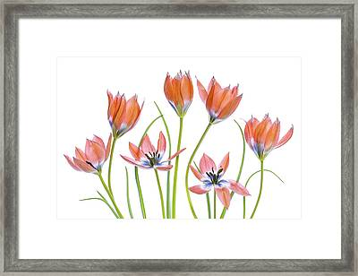 Apricot Tulips Framed Print
