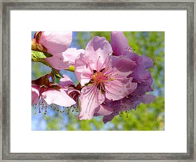 April Peach Blossoms Framed Print