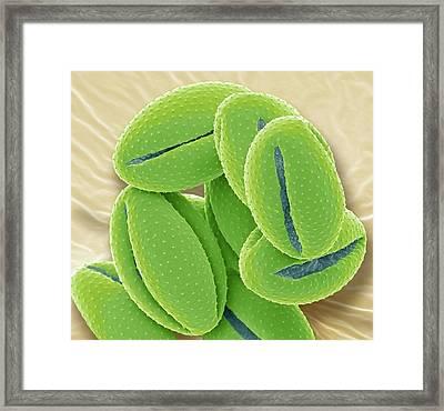 Aqualegia Pollen Grains. Sem Framed Print by Steve Gschmeissner