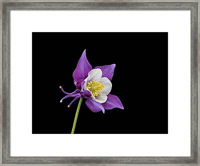 Aquilegia - Purple Framed Print