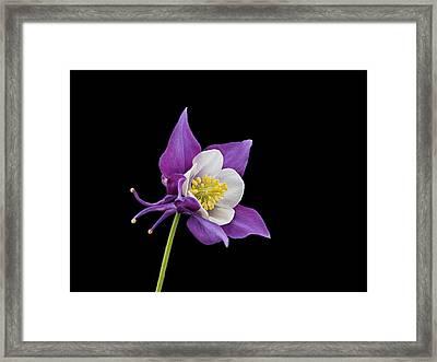 Aquilegia - Purple Framed Print by Paul Gulliver