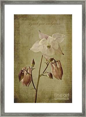 Aquilegia Vulgaris With Textures Framed Print by John Edwards