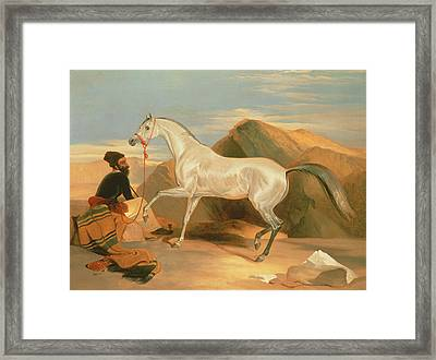Arab Stallion Framed Print