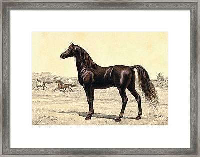 Arabian Horse Framed Print by Collection Abecasis