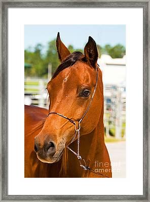 Arabian Horse Framed Print by Millard H. Sharp