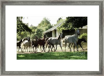 Arabian Horses Framed Print by Angel Ciesniarska