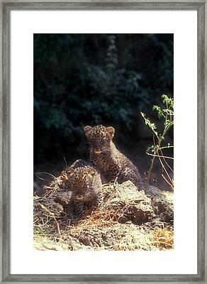 Arabian Leopard (panthera Pardus) Framed Print