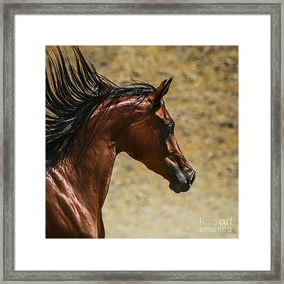 Arabian Mare II Framed Print by Holly Martin