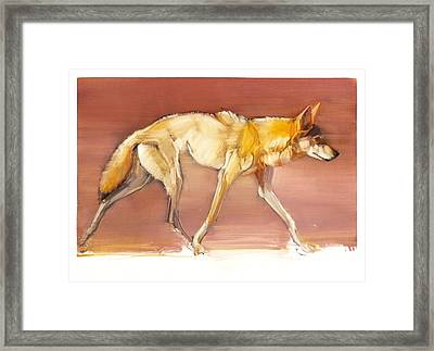 Arabian Wolf Framed Print by Mark Adlington