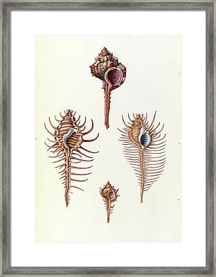 Aranea Seashells Framed Print by Royal Institution Of Great Britain