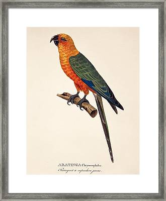 Aratinga Chrysocephalus  Framed Print