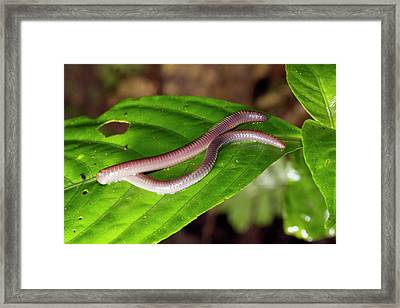 Arboreal Earthworm Framed Print by Dr Morley Read