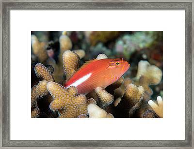 Arc-eye Hawkfish Amongst Coral Framed Print by Louise Murray