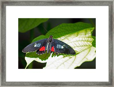 Arcas Cattleheart Butterfly Framed Print by Cheryl Cencich
