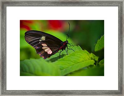 Arcas Cattleheart Butterfly Framed Print by Lindley Johnson