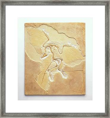 Archaeopteryx Fossil Framed Print by Dorling Kindersley/uig
