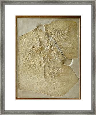 Archaeopteryx Fossil Framed Print by Natural History Museum, London/science Photo Library