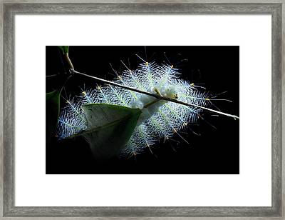 Archduke Butterfly Caterpillar Framed Print by Melvyn Yeo