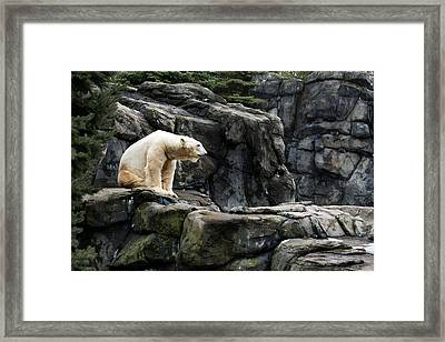 Arctic Bear Framed Print