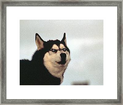 Arctic Dog Framed Print by Alice Ramirez