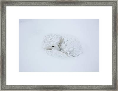 Arctic Fox Alopex Lagopus In Snow Framed Print by Panoramic Images