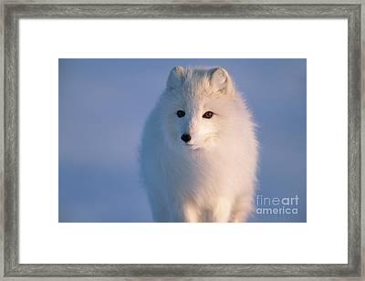 Arctic Fox North Slope Alaska Framed Print