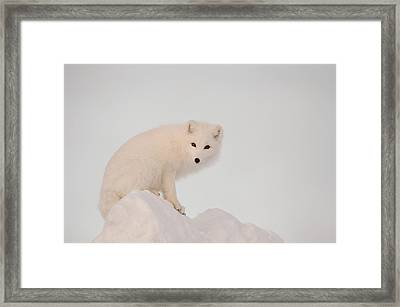 Arctic Fox Stands In Late Afternoon Sun Framed Print