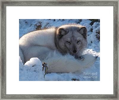 Arctic Fox - Winter Coat Framed Print