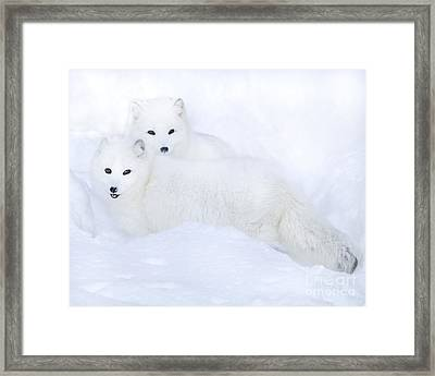 Arctic Foxes In The Snow Framed Print
