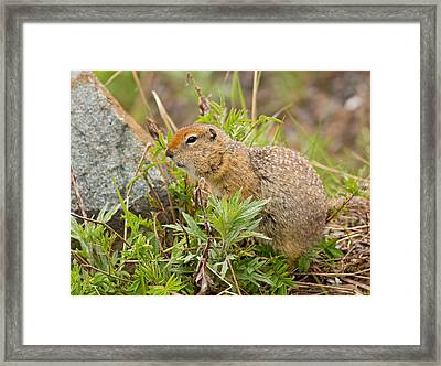 Arctic Ground Squirrel Framed Print