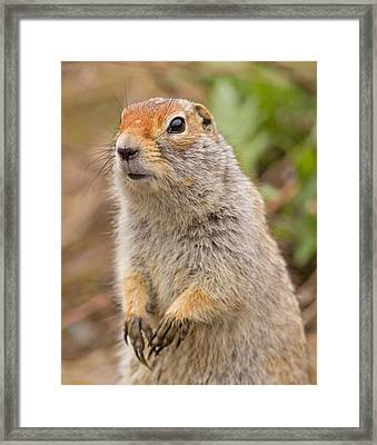 Arctic Ground Squirrel Close-up Framed Print