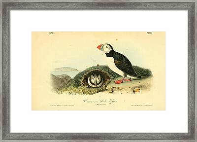 Arctic Puffin Framed Print by Philip Ralley