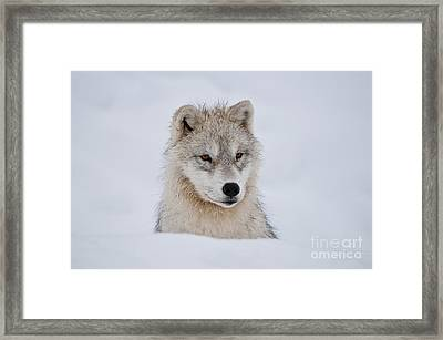 Arctic Pup In Snow Framed Print
