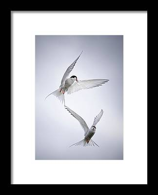 Tern Framed Prints