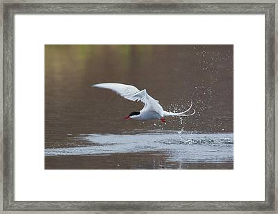 Arctic Tern Fishing Framed Print by Ken Archer