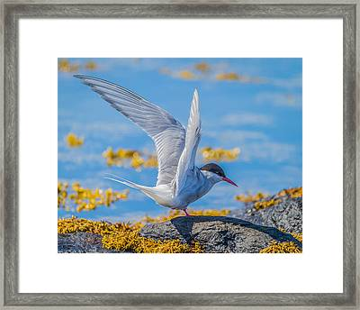 Arctic Tern Sterna Paradisaea, Flatey Framed Print by Panoramic Images