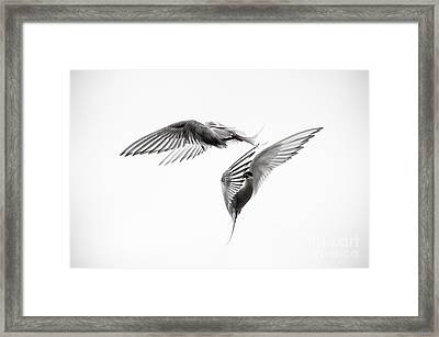 Arctic Tern - Sterna Paradisaea - Pas De Deux - Black And White Framed Print by Ian Monk