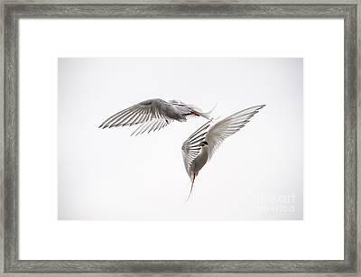 Arctic Tern - Sterna Paradisaea - Pas De Deux  Framed Print by Ian Monk