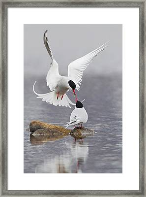 Arctic Terns, Courtship Framed Print by Ken Archer