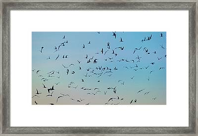 Arctic Terns Flying, Reykjavik, Iceland Framed Print by Panoramic Images